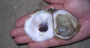 killer_oyster